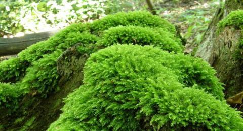 Manfaat Tumbuhan Lumut