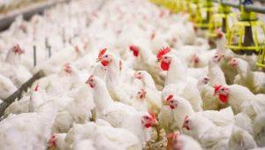 Berternak Ayam Broiler